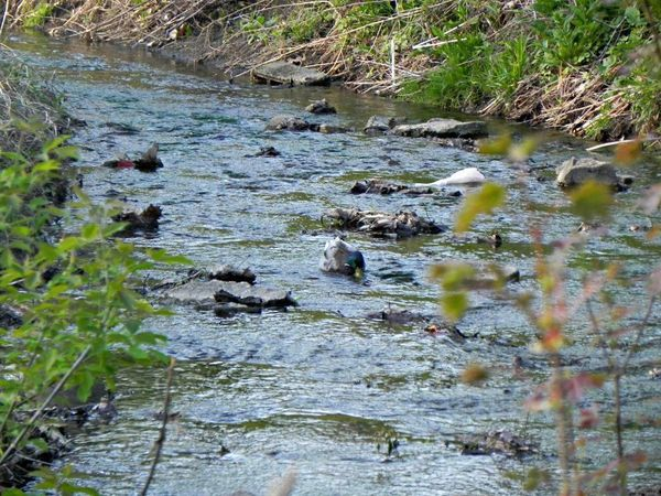 Duck Swimming in the Bowman Creek at Ravina Park